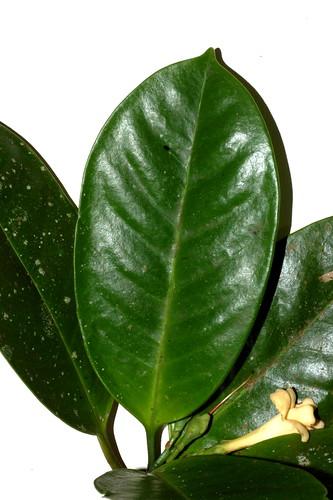 Fagraea cambagei DSC_0021 (3)