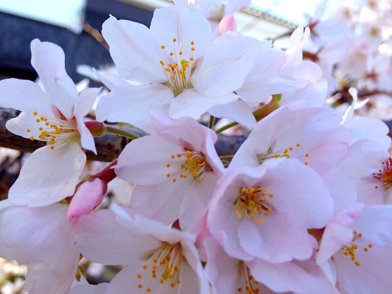 Sakura@daito