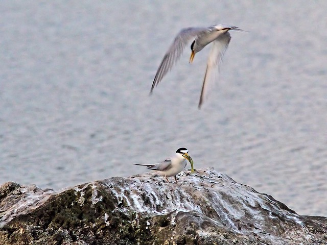 Least Tern bonded male departs 17- 20140428