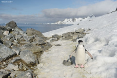 Chinstrap Penguin on a Walk