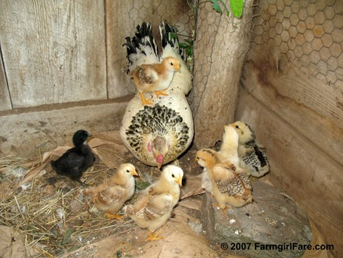 Mother as landing pad - Whitey and her 7 chicks on 6-14-07 - FarmgirlFare.com