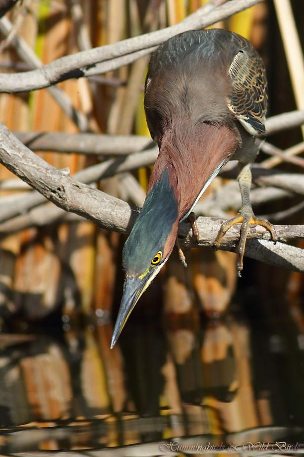 Green Heron 022412-3