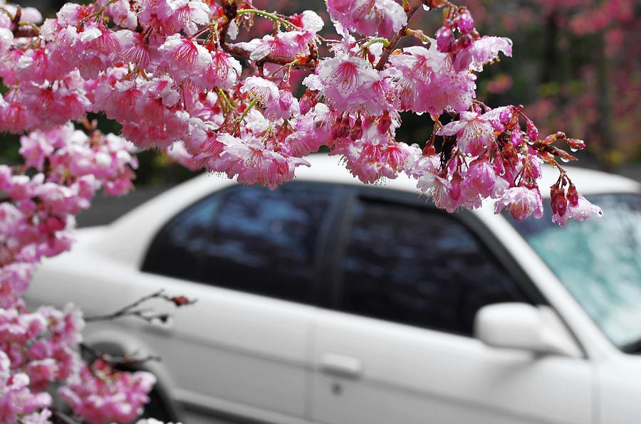武陵賞櫻,花超多、人超擠、車超塞