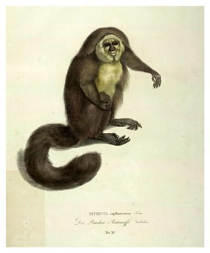 006-Simiarum et Vespertilionum Brasiliensium especies novae 1823- Baptist von Spix