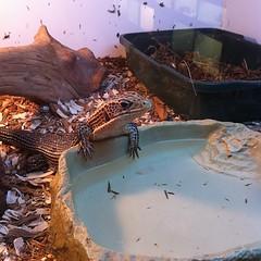 Ornate plated lizard