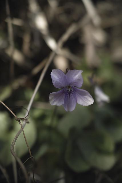 viola-grypoceras02