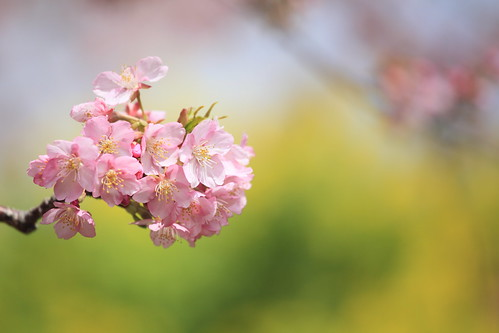 cherry blossoms by cate♪