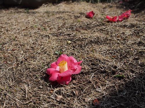 落椿。落ちてなお美しい