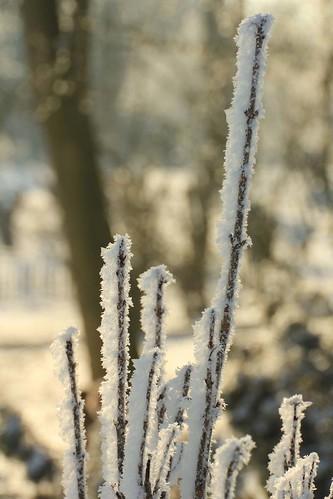 hoar frost stems 11 02 12