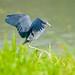 Blue Little Heron... by Christine Kapler / PASSED AWAY