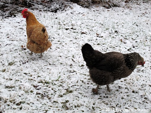 Chickens on snow 4 - FarmgirlFare.com