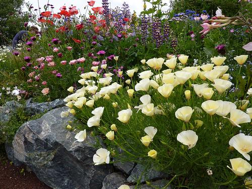 California Poppies -Eschscholzia californica 'Alba'