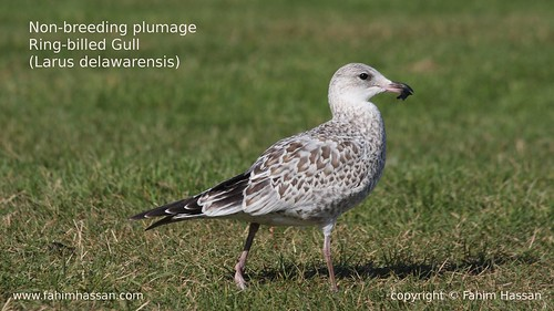 Young Ring-billed Gull (Larus-delawarensis)