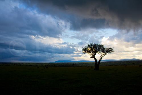 africa trees sunset tree nature landscape kenya bigsky masaimara riftvalley eastafrica wildlifephotography africanlandscape robsall