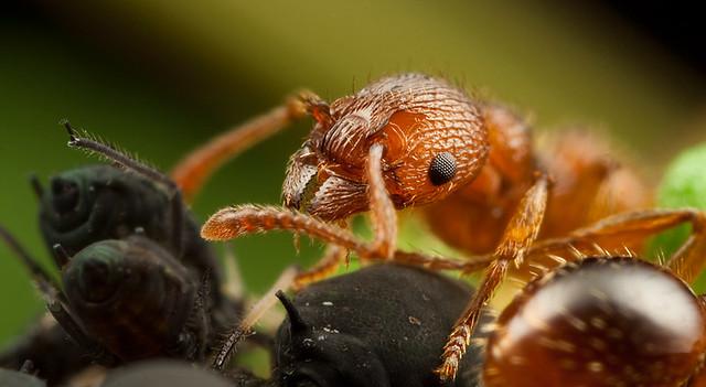ant farming aphids