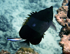 Black Pyramid Butterflyfish - Hemitaurichtys zoster + Cleaner Wrasse - Labroides dimidatus