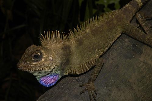 Bell's Anglehead Lizard (Gonocephalus belli)