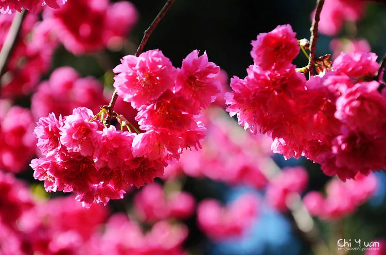 九族文化村櫻花祭-日22.jpg