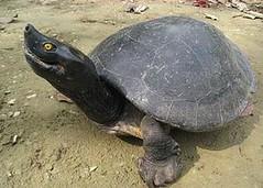 馬來西亞瑟提河(Setiu River)呈現婚姻色的雄性南方巨河龜。(Eng Heng Chan攝)