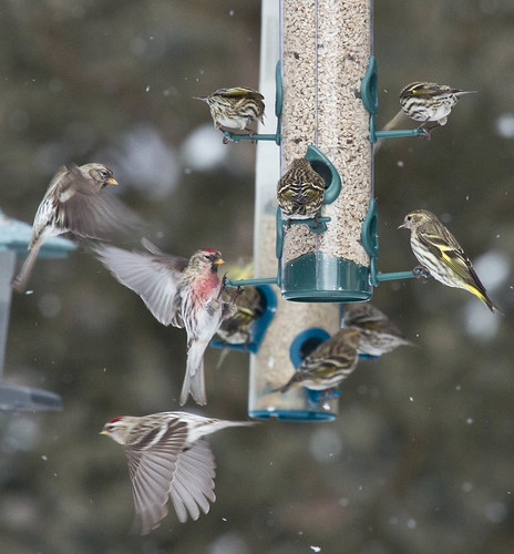 Common Redpolls and Pine Siskins