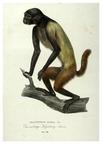 004-Simiarum et Vespertilionum Brasiliensium especies novae 1823- Baptist von Spix