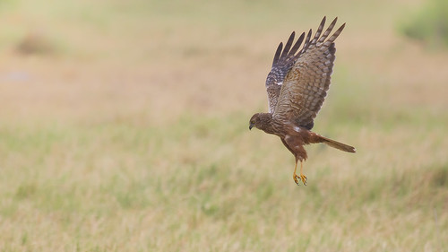 African Marsh Harrier - Hunting