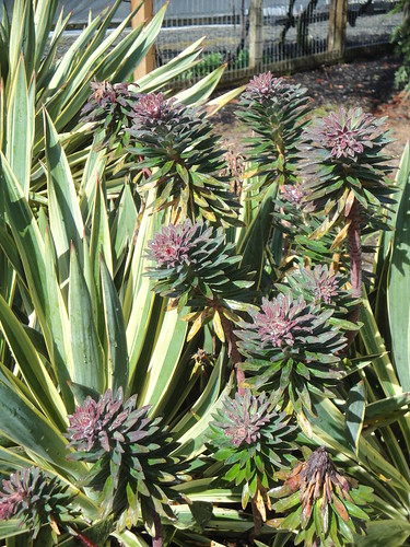 NWGN Yuccas and Euphorbias