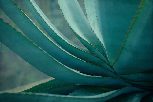 blue agave by Lady Miss Elle