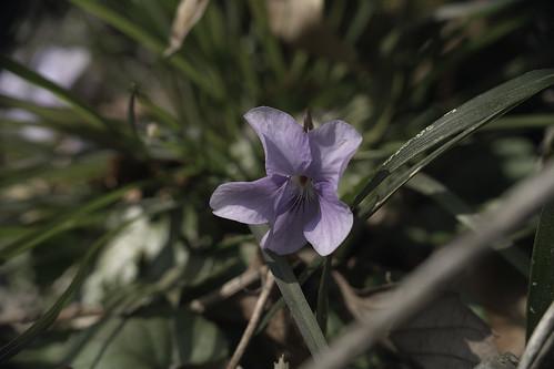 viola-grypoceras01