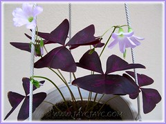 Our potted Oxalis triangularis (Purple Shamrock) looking healthy again - Sept 2010
