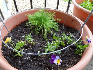 2012.04_chamomile and pansies