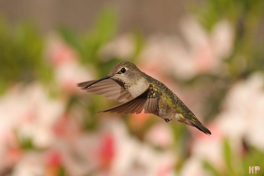 Anna's Hummingbird 031512-3