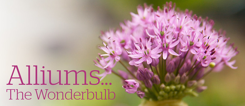 Allium Header copy