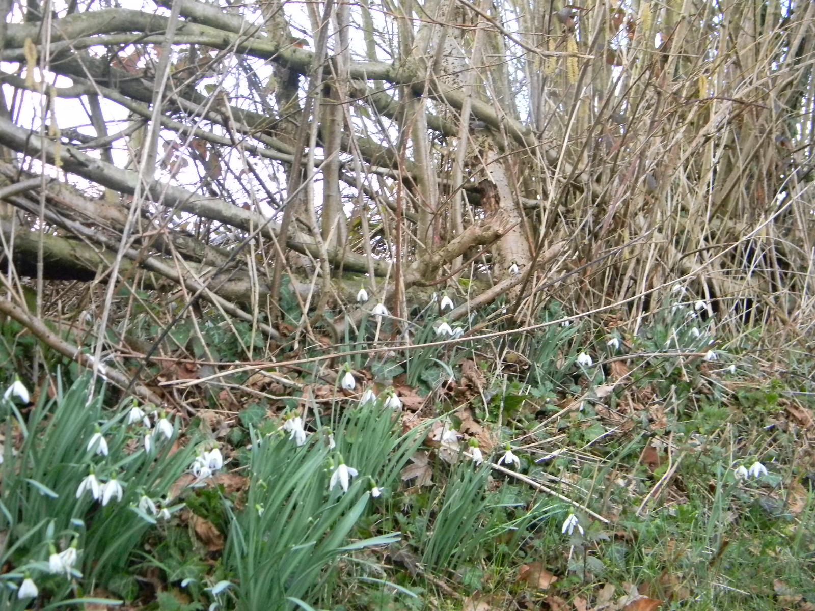 Snowdrops Overton Circular