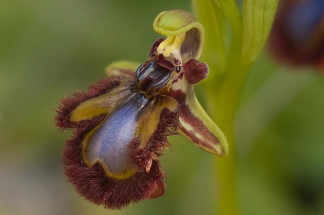 Ophrys speculum evolucionando para engañar a los insectos