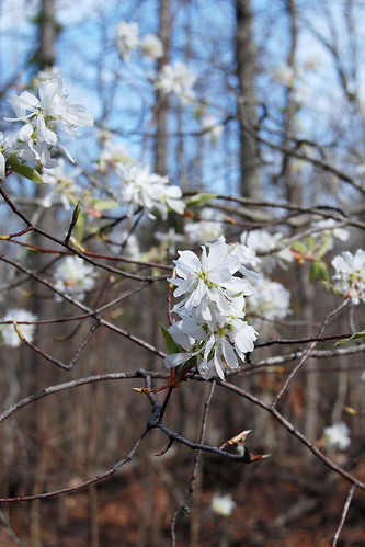 Picture of Serviceberry, Amelanchier arborea, a native white-flowering tree in the Ozarks. Picture taken at Bell Mountain Wilderness in Missouri
