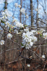 Serviceberry, Amelanchier arborea