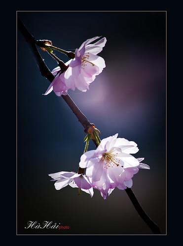 Mộng dưới hoa - Dream under flowers by Ha Hai