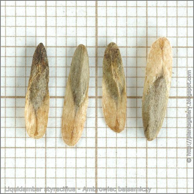 Liquidambar styraciflua seeds - Ambrowiec balsamiczy, ambrowiec amerykański, styrakowiec amerykański nasiona