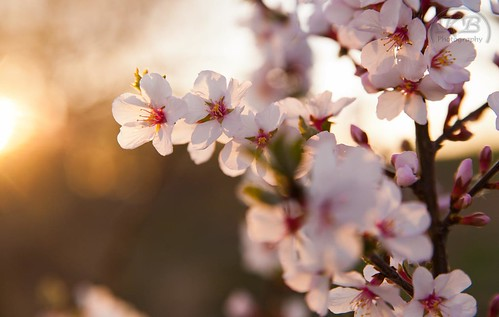 morning pink flowers white plant flower tree nature beauty sunrise landscape petals flickr pretty blossom bokeh sunny delicate facebook blooming appleblossoms clearskies fuittree