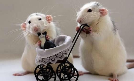 ratas-bebe-gato