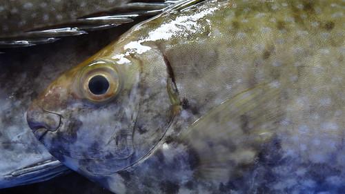 又毒又臭的臭肚魚,是澎湖人特有的鄉愁。