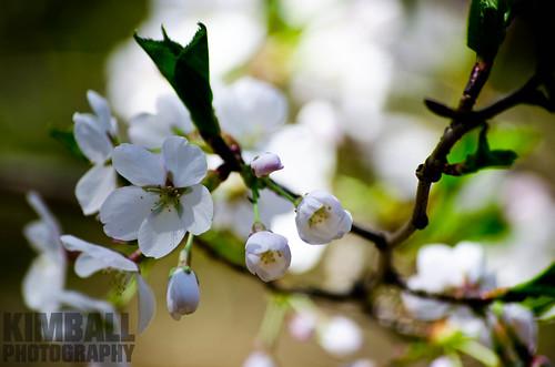 Pear Flower 2