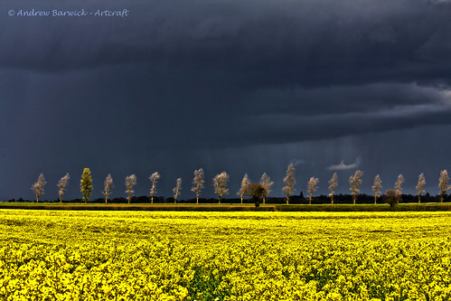 Oil seed rape fields, Norfolk, explored - thank you for over 1300 views