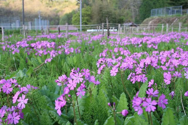 栽培地で花を咲かせるサクラソウ.遺伝子の違いからか,乾いた場所でも育つ.