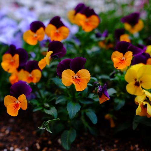 Viola spring flowers