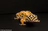 Leopard Gecko Lucy