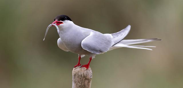 Arctic Tern, Beadnell