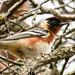 IMG_6449 Bay-breasted Warbler
