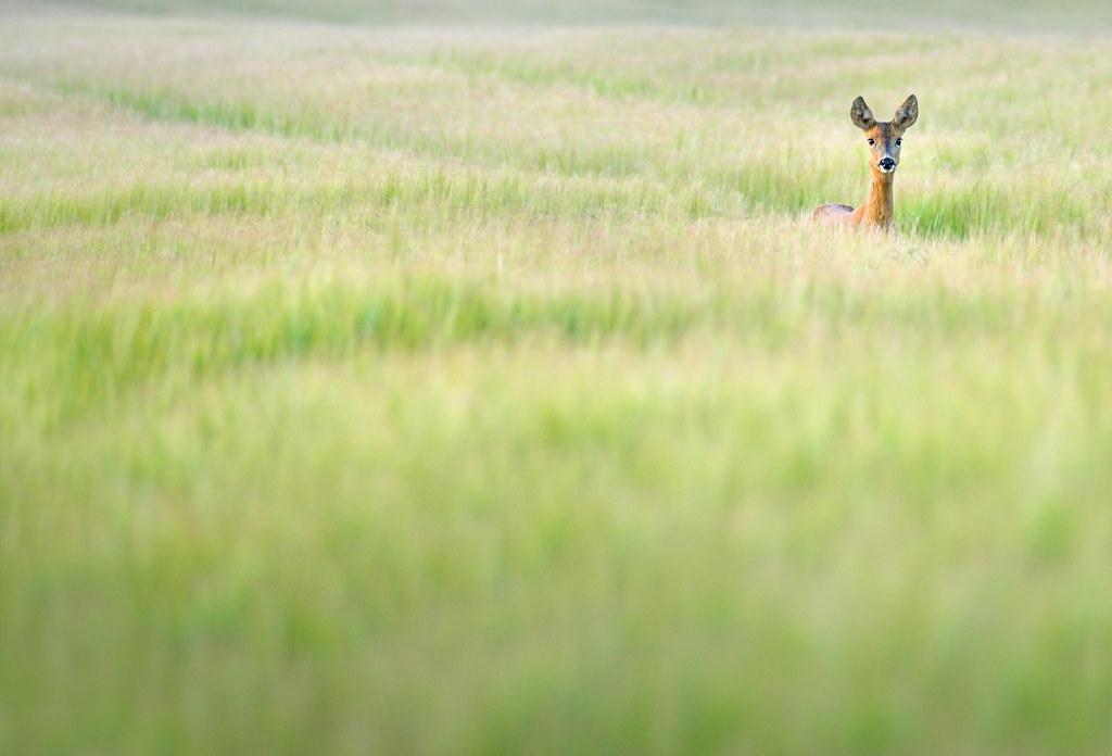 Roe deer doe, South Downs National Park